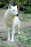 Arctic wolf puppy. In forest Royalty Free Stock Images