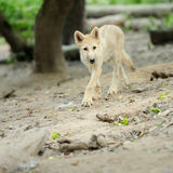 Arctic wolf puppy. In forest Stock Photos