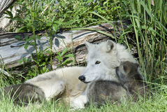 Arctic Wolf with Pups Royalty Free Stock Photo