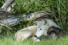 Arctic Wolf with Pups royalty free stock images