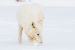 Arctic wolf smelling prey trail Royalty Free Stock Photography