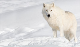 Arctic Wolf in Snow stock photos