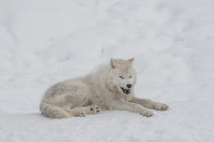 Arctic wolf in the snow. Royalty Free Stock Images
