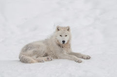 Arctic wolf in the snow. Stock Image