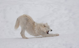 Arctic wolf in the snow. Stock Photo