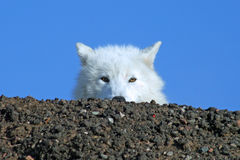 Arctic Wolf Peeking Over Hilltop. Curious arctic wolf peeking over a snowy hilltop Royalty Free Stock Photography