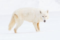 Arctic wolf standing broadside Stock Photos