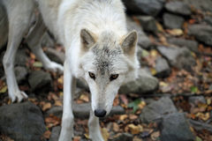 Arctic wolf with staring eyes Royalty Free Stock Photo