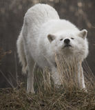 Arctic Wolf Stretching And Looking Into Camera Stock Image