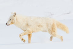 Arctic wolf with tongue out Royalty Free Stock Photography