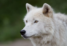 Arctic wolf up close in the fall Royalty Free Stock Photo