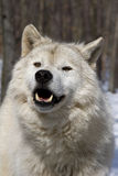 Arctic Wolf V Stock Photos