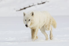 Arctic Wolf walking in snow Stock Image