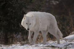 Arctic Wolf Walking In Snow Stock Photos