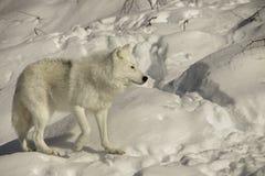 Arctic wolf walking on snow. Wildlife predator white fur fauna Royalty Free Stock Photos