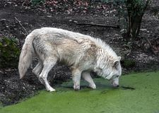 Arctic wolf at watering pool 1 Royalty Free Stock Photos