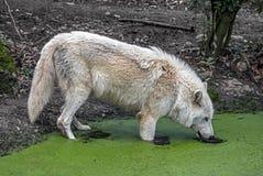 Arctic wolf 10 Stock Photo