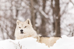 Arctic wolf in winter Stock Images