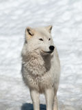 Arctic wolf in winter royalty free stock photo