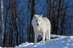 Arctic wolf. In winter snow Royalty Free Stock Image