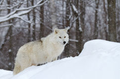 Arctic wolf in winter Royalty Free Stock Image