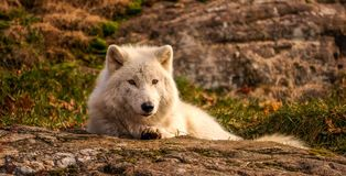 Arctic wolf wondering who's the photographer, Quebec, Canada. Royalty Free Stock Photos