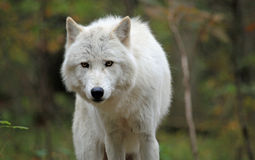 Arctic wolf in the woods. Healthy arctic wolf staring from the woods Royalty Free Stock Images