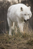 Arctic Wolf Yawning Royalty Free Stock Photos
