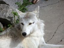 Arctic wolf in the zoo of Kaliningrad Stock Images