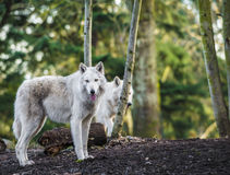 Arctic Wolfs Royalty Free Stock Photography
