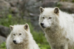 Arctic wolves Stock Photography