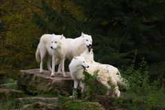 Arctic wolves - canis lupus arctos. Four arctic wolves standing together on a rock before a social howling - canis lupus arctos stock image