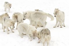 Some Arctic wolves Canis lupus arctos playing in the winter snow Canada. Arctic wolves Canis lupus arctos playing in the winter snow Canada Royalty Free Stock Images