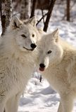Arctic Wolves close together in winter Stock Photo