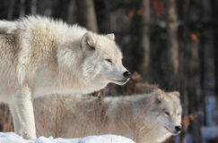 Arctic wolves Royalty Free Stock Photography