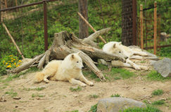Arctic wolves having rest Stock Photos