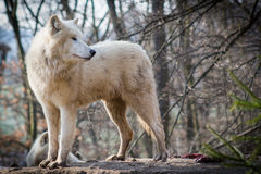 Arctic wolves... Stock Photos