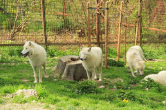 Arctic wolves Royalty Free Stock Image