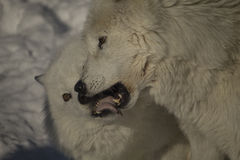 Arctic wolves. Playing in the winter Stock Photo