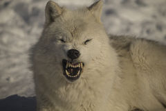 Arctic wolves. Playing in the winter stock photos