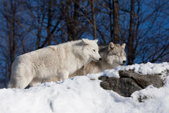 Arctic wolves on rocky cliff in winter Stock Photo