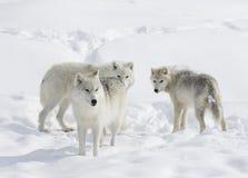 Arctic wolves in the snow. Arctic wolves in the winter snow Stock Photo