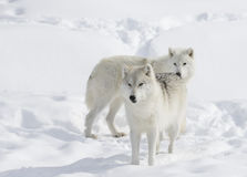 Arctic wolves in the snow. Arctic wolves in the winter snow Stock Images