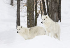 Arctic wolves in the snow. Arctic wolves in the winter snow Royalty Free Stock Photography