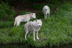 Three Arctic wolves (Canis lupus arctos) standing in the grass in spring in Canada stock photos