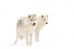 Arctic wolves. Standing in a snow covered field Royalty Free Stock Photography
