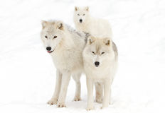Arctic wolves. Standing in a snow covered field Stock Images