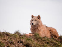 Arctic wolves Royalty Free Stock Photos