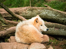 Arctic wolves Stock Photos