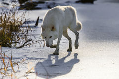 Arctic Wolves. Two Arctic Wolves play around near an icy pond in a snowy forest hunting for prey Royalty Free Stock Photos